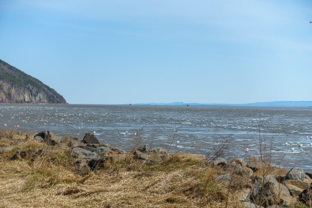Les oies blanches à marée basse