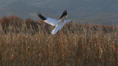 Une oie blanche à atterrissage